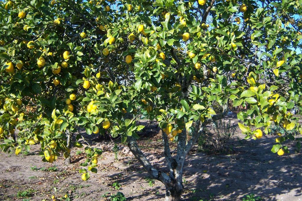 Des jardiniers votre service pour l 39 entretien de votre - Hivernage d un citronnier ...