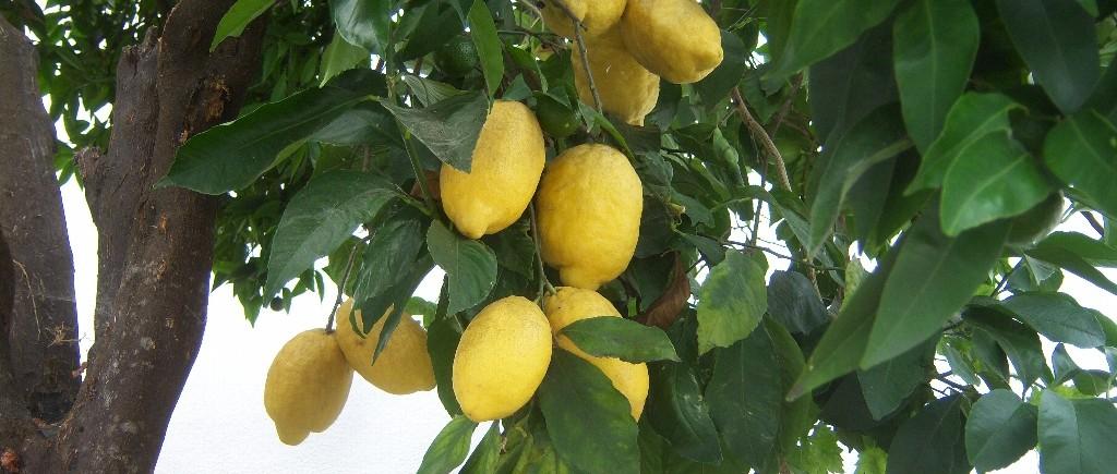 citronnier3