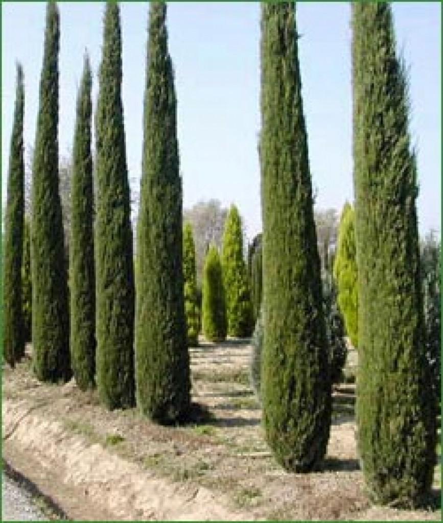 Jardinier paysagiste votre service pour l entretien de votre cypr s - Cypres d italie totem ...